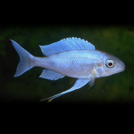 Ophthalmotilapia ventralis blue 5,5-7cm