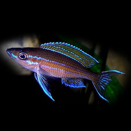 Paracyprichromis blue neon 5 - 7cm