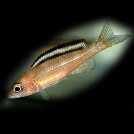 Paracyprichromis brieni 6,5-8cm