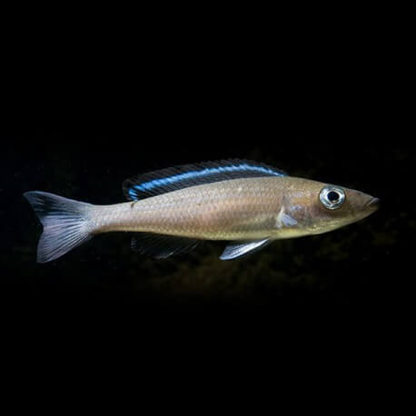 Paracyprichromis sp. velifer 4 - 5 cm