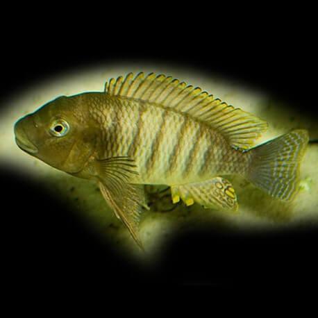 Petrochromis famula 6-7cm