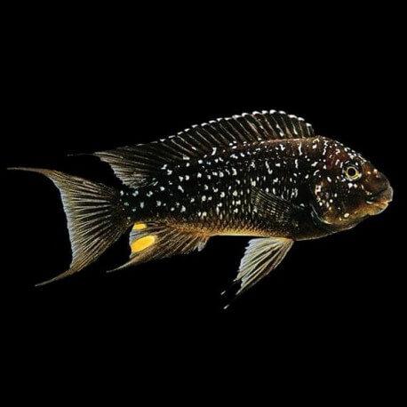 Petrochromis trewavasae 5-6cm