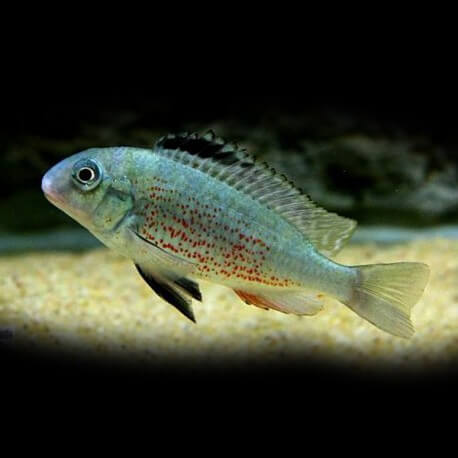Simochromis babaulti yellow tiger XL