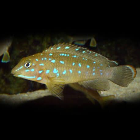 Tanganicodus irsacae 3-4cm
