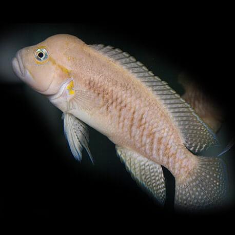 Telmatochromis burgeoni 4-5cm