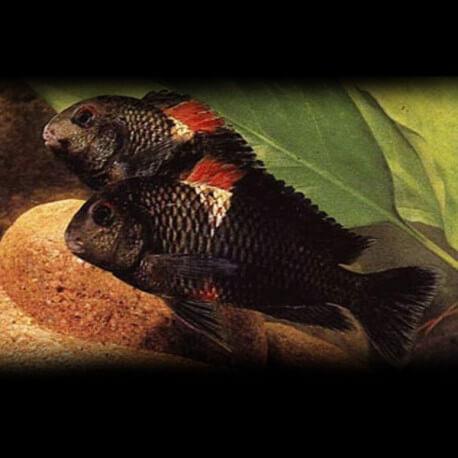 Tropheus moorii brabant rutu 6,5-9cm