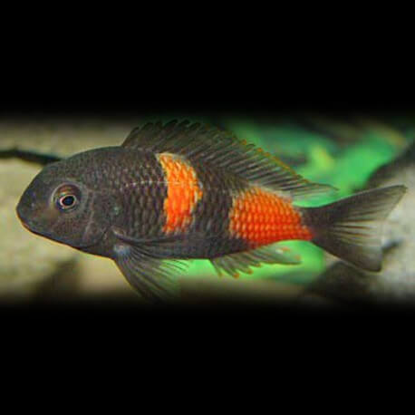 Tropheus moorii bulu - point +7cm