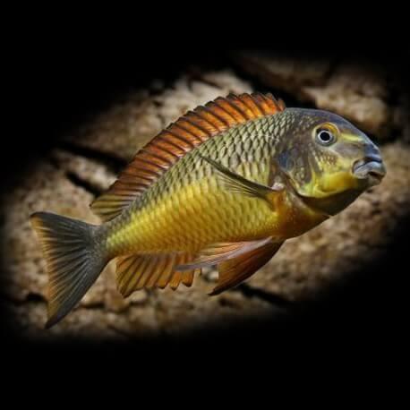 Tropheus moorii golden kazumba 4-5cm