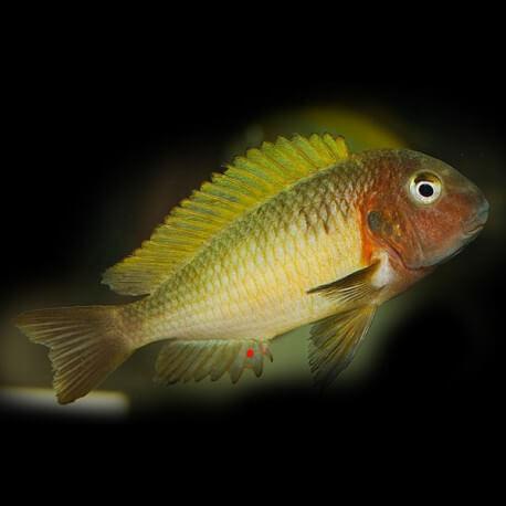 Tropheus moorii kala yellow 3,5-4,5cm