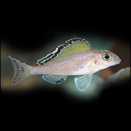 Xenotilapia spilopterus kipille 4-5cm