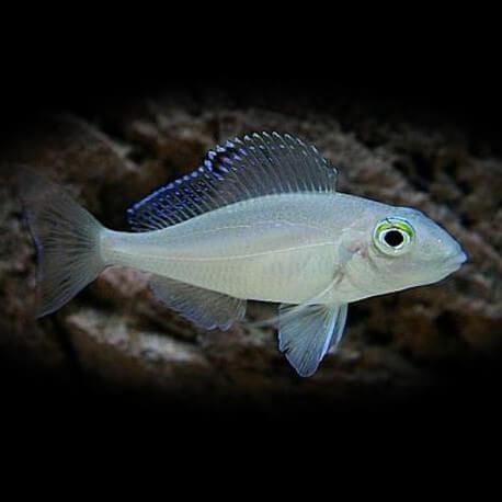 Xenotilapia spilopterus kacheze 4-5cm