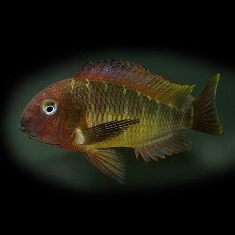 Tropheus moorii namansi red 3,5-4,5cm