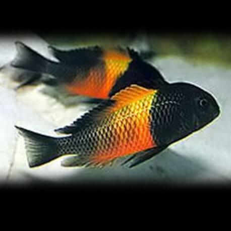 "Tropheus moorii orange I \""bemba\"" 3 cm"