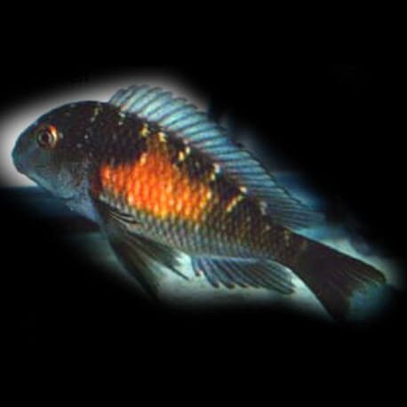 Tropheus moorii orange spot 6-7cm