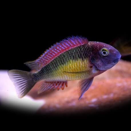 Tropheus moorii red rainbow 3,5-4cm