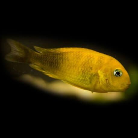 Tropheus brichardi namansi gold 3 - 4 cm