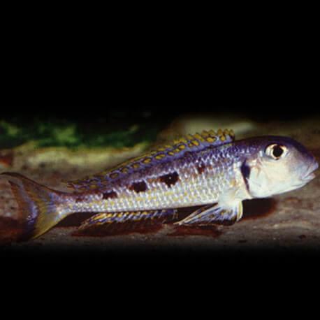 Xenotilapia ochrogenys karilani 4 - 5 cm