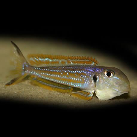 Xenotilapia ochrogenys kigoma 6 - 8 cm