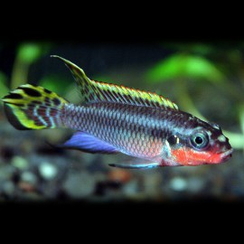 Pelvicachromis taeniatus nig. green 4 - 5 cm