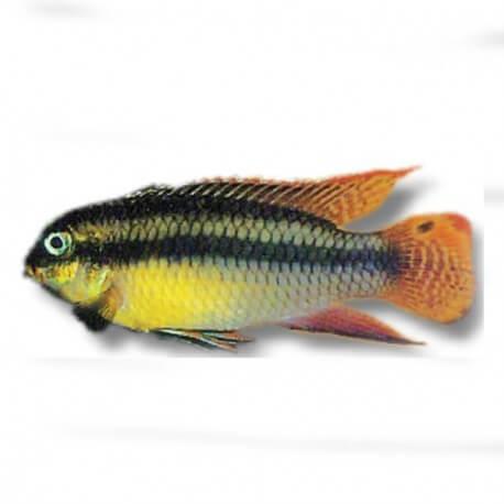 Pelvicachromis taeniatus nange XL