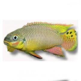 Pelvicachromis taeniatus molive 4 - 5 cm