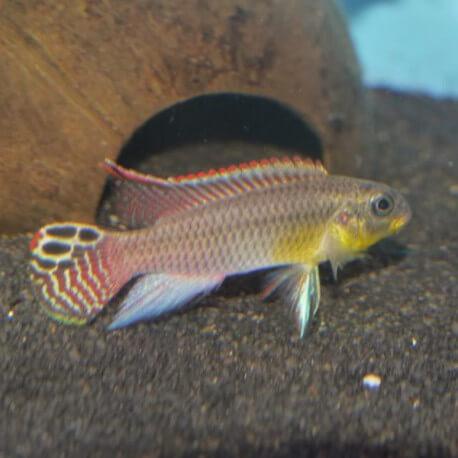 Pelvicachromis taeniatus mahone 3,5-4cm
