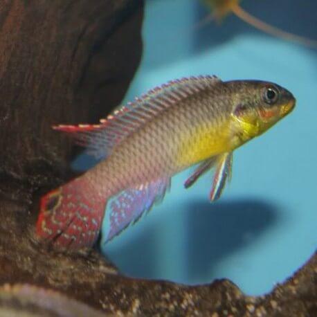Pelvicachromis taeniatus locoundie 4 - 5 cm