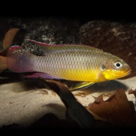 Pelvicachromis taeniatus lobe 3 - 4 cm