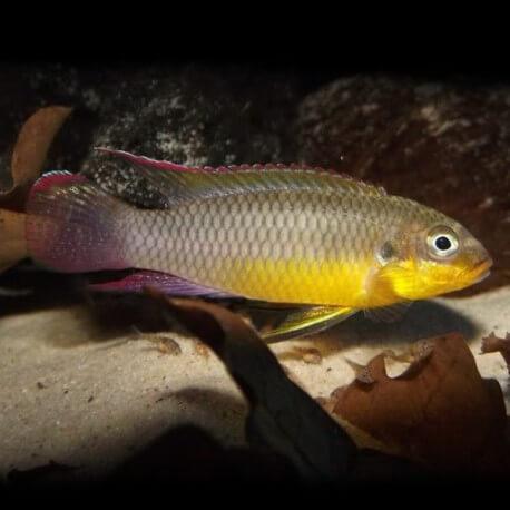 Pelvicachromis taeniatus lobe XL