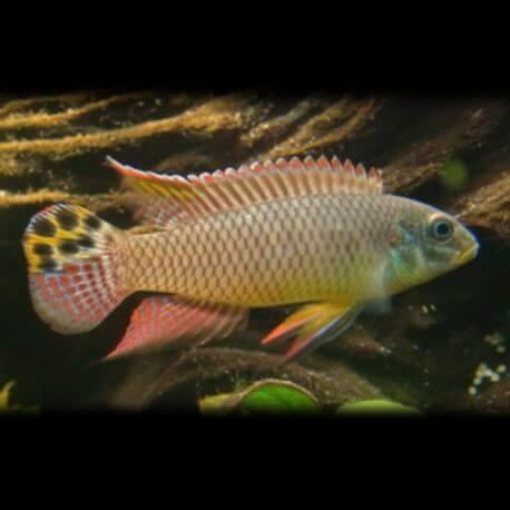 Pelvicachromis taeniatus kienke 4 - 5 cm