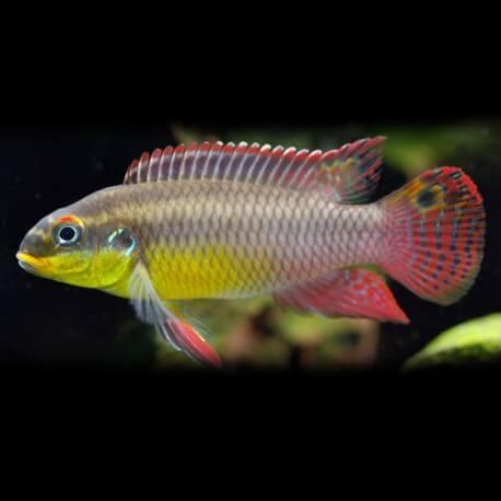 Pelvicachromis taeniatus dehane +5,5cm