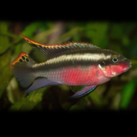 Pelvicachromis super red 4 - 5 cm