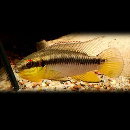 Pelvicachromis rolofi XL