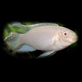 Pelvicachromis pulcher gold-albino 3 - 4 cm