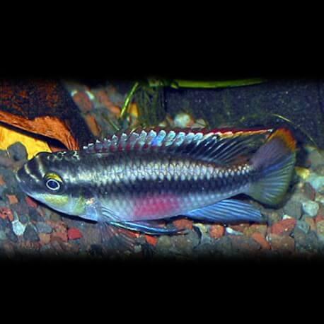 Pelvicachromis pulcher blue 4cm