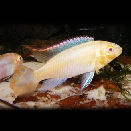 Pelvicachromis pulcher albin (red) 6 - 7 cm