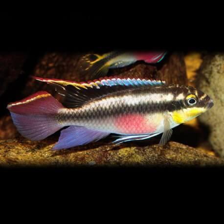Pelvicachromis pulcher 4 - 5 cm