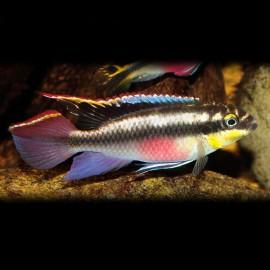 Pelvicachromis pulcher 2,5 - 3 cm