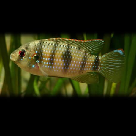 Pelmatochromis thomasi guinea 4cm