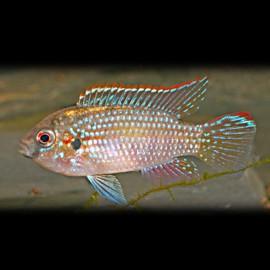 Pelmatochromis thomasi 2 - 3 cm