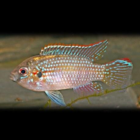 Pelmatochromis thomasi 4 - 5 cm