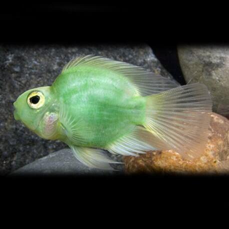 Hybrid green parot 6 - 7 cm