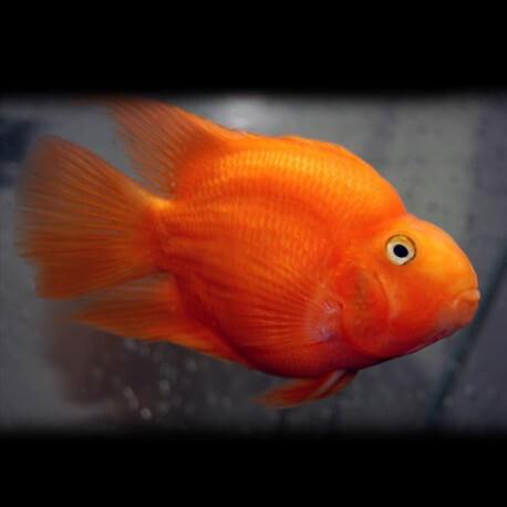 Hybrid orange parrot 6-7cm