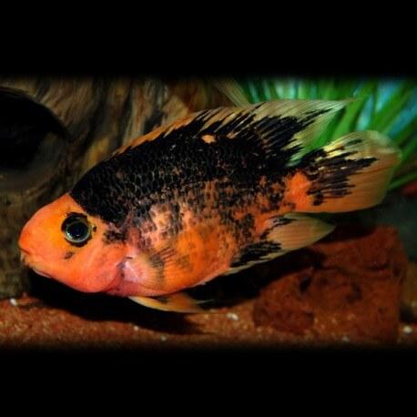 Hybrid red black parrot 6 - 7 cm