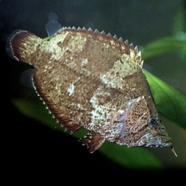 Monocirrhus polyacantus 5 - 7 cm