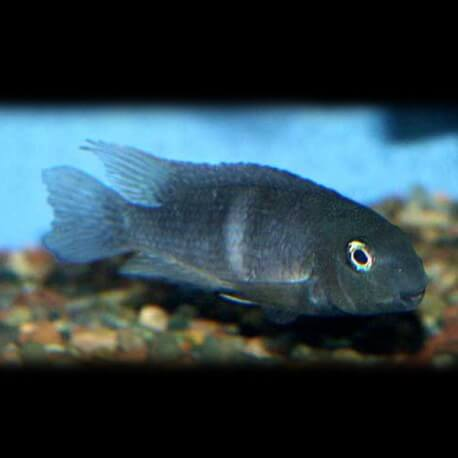Neetroplus nematopus 5-6cm