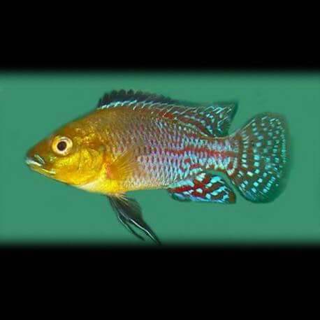 Pseudocrenilabrus nicolsi 5-6cm