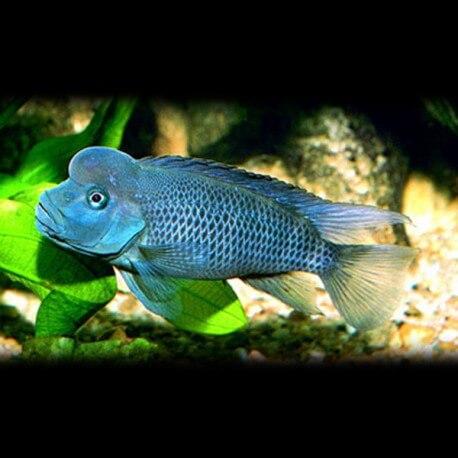 Steatocranus casuarius  8 cm
