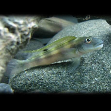 Steatocranus tinanti 4 - 5 cm