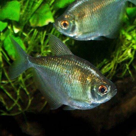 Brachychalcinus orbicularis 3-4cm